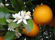 خوابی راحت و لذت بخش با شربت بهار نارنج