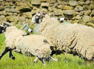 افزایش سرعت اینترنت با کمک گوسفندان