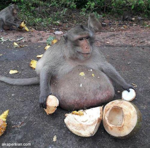 میمون چاقی که بزرگترین شکم دنیا را دارد (+عکس)