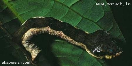 ترسناک ترین کِرم جهان (+عکس)