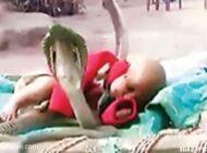 محافظت باورنکردنی 4 مار کبری از این نوزاد! + (عکس)